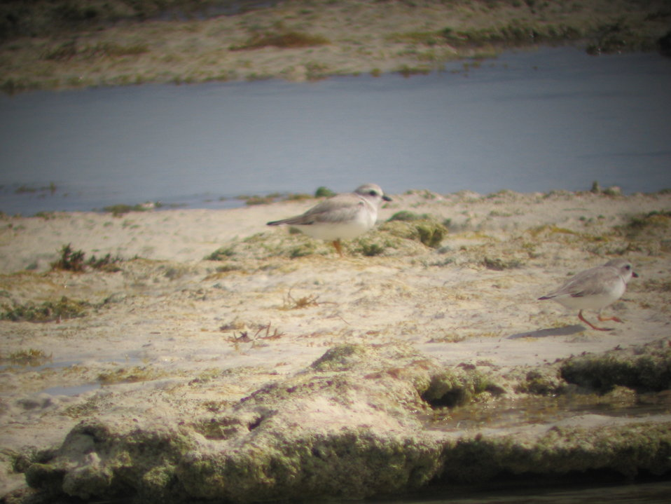 Piping plovers foraging in rocky intertidal zone
