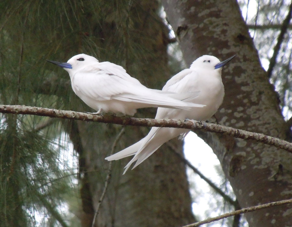 white tern pair in ironwood