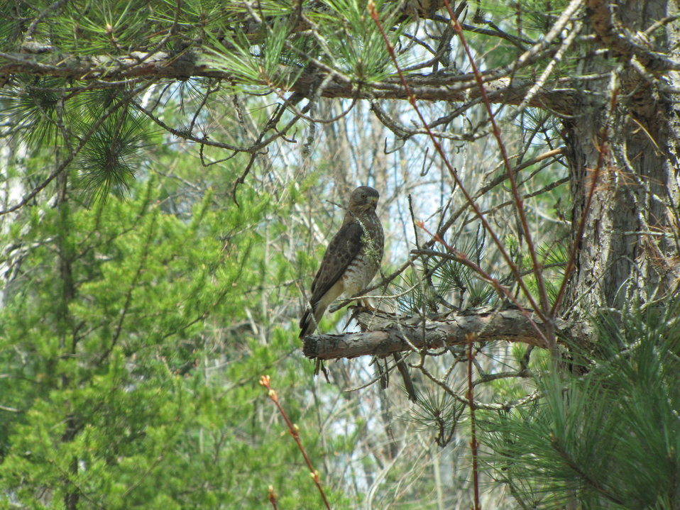 Broad Winged Hawk