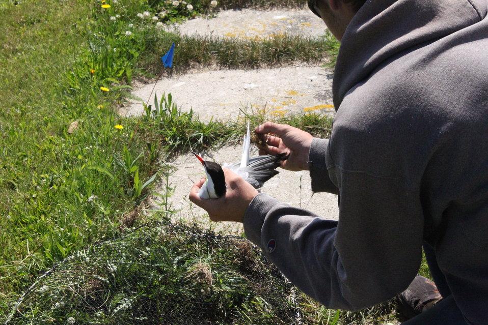 Captured Tern For Testing