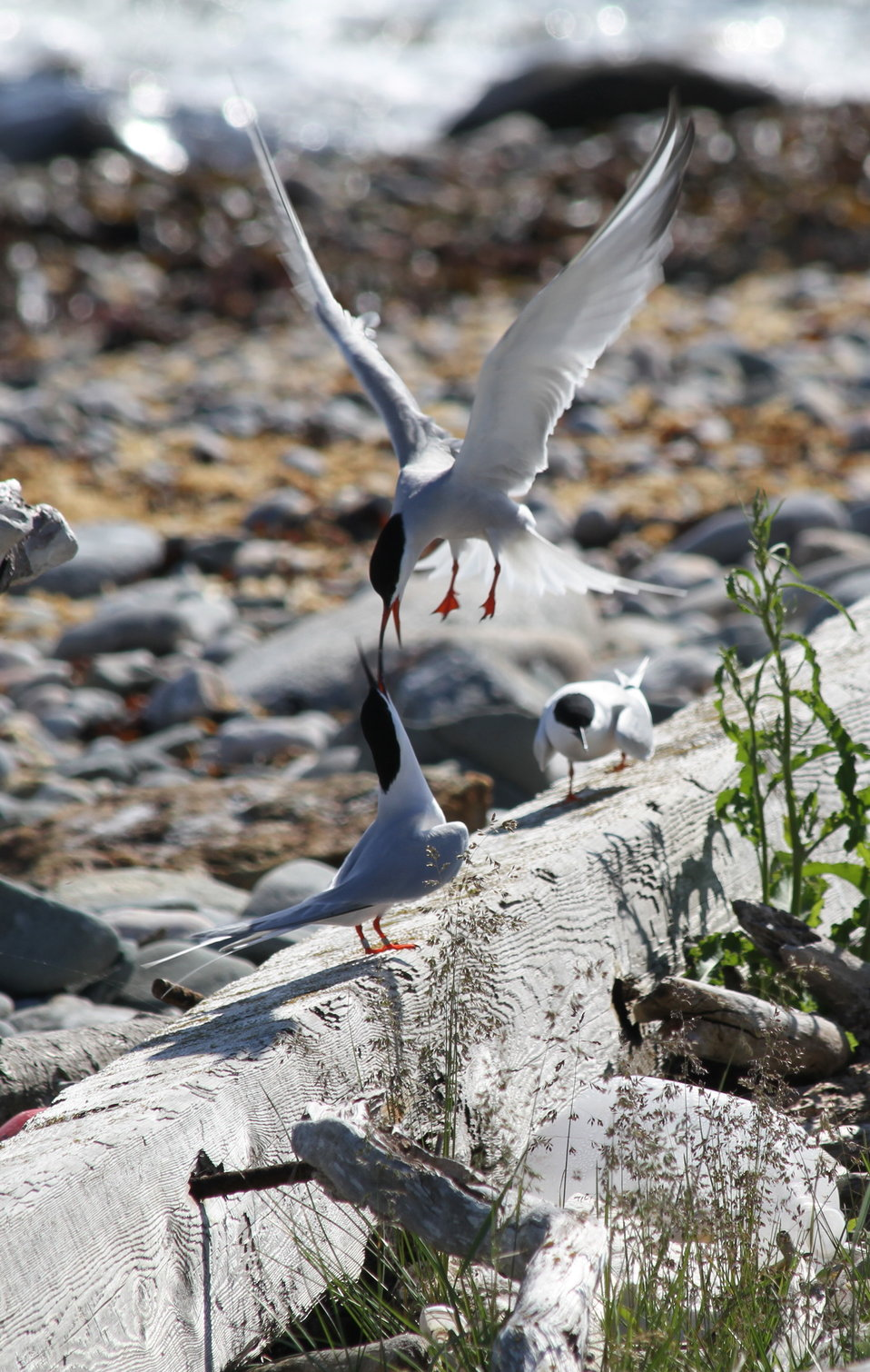Roseate Terns Being Harrassed By Common Tern Neighbors