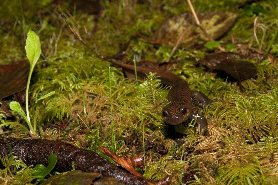Northwest salamander, Cape Meares NWR