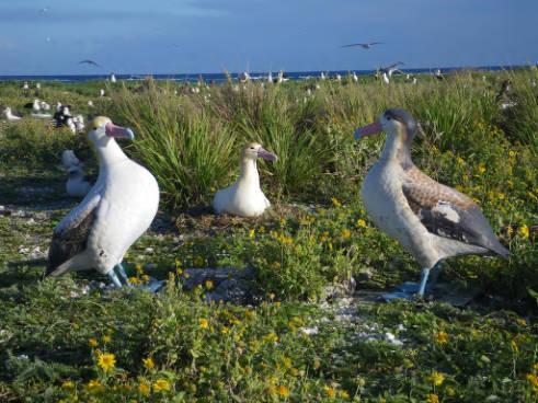 Male Shorttailed Albatross Incubating Egg