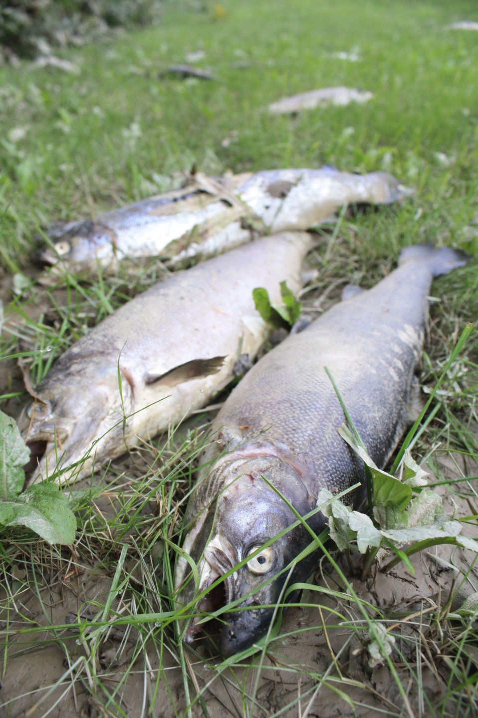 Dead fish after Hurricane Irene flood event