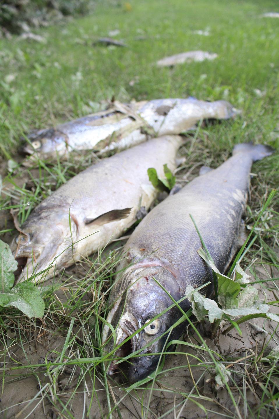 Dead fish after Hurricane Irene flood event