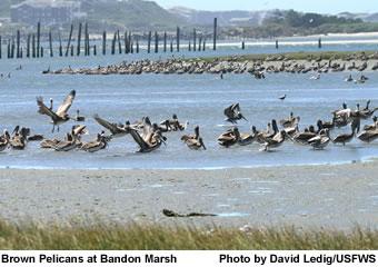 Brown Pelicans in Tidal Salt Marsh