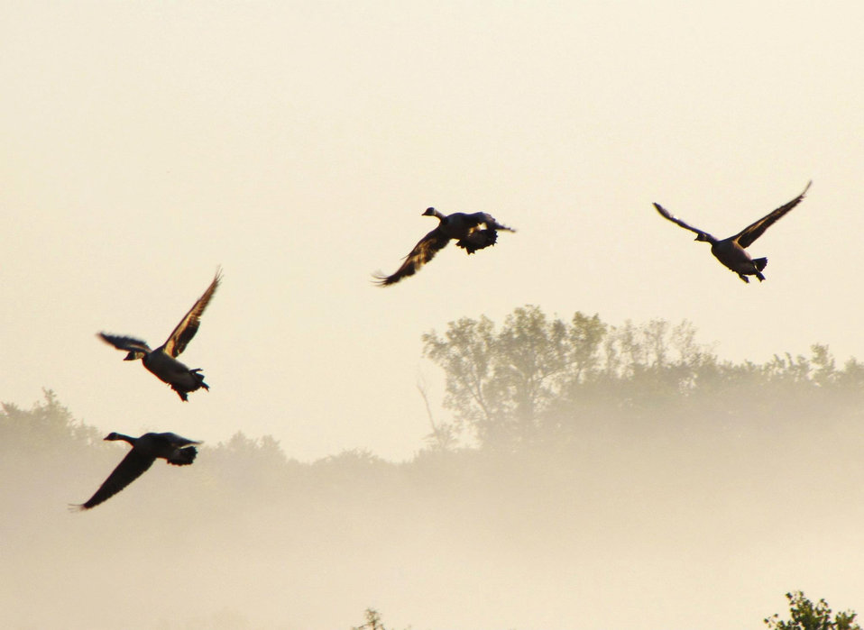 Canada geese staging at Port Louisa NWR