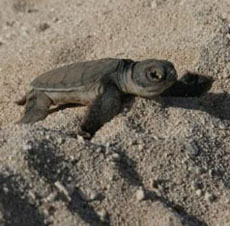 Green Turtle Hatchling - Hawaiian Islands NWR