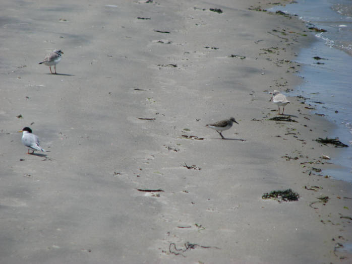 Piping Plovers and Sanderlings
