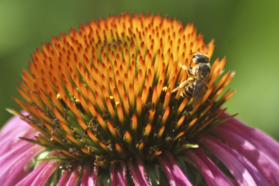 Photo of the Week - Honeybee on a purple coneflower
