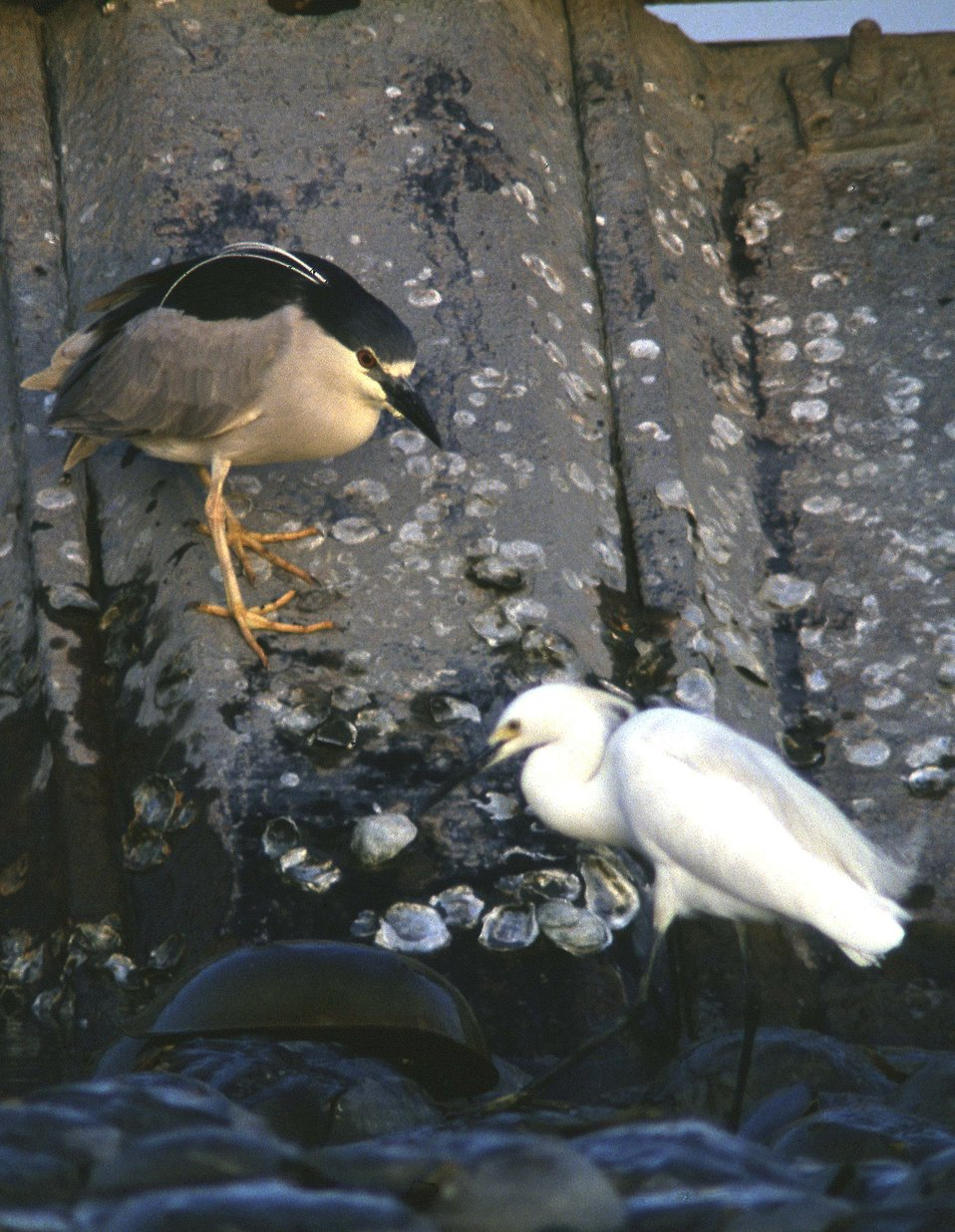 Black Crowned Night Heron and Snowy Egret