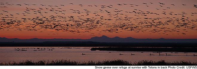 Snow Geese in Camas National Wildlife Refuge