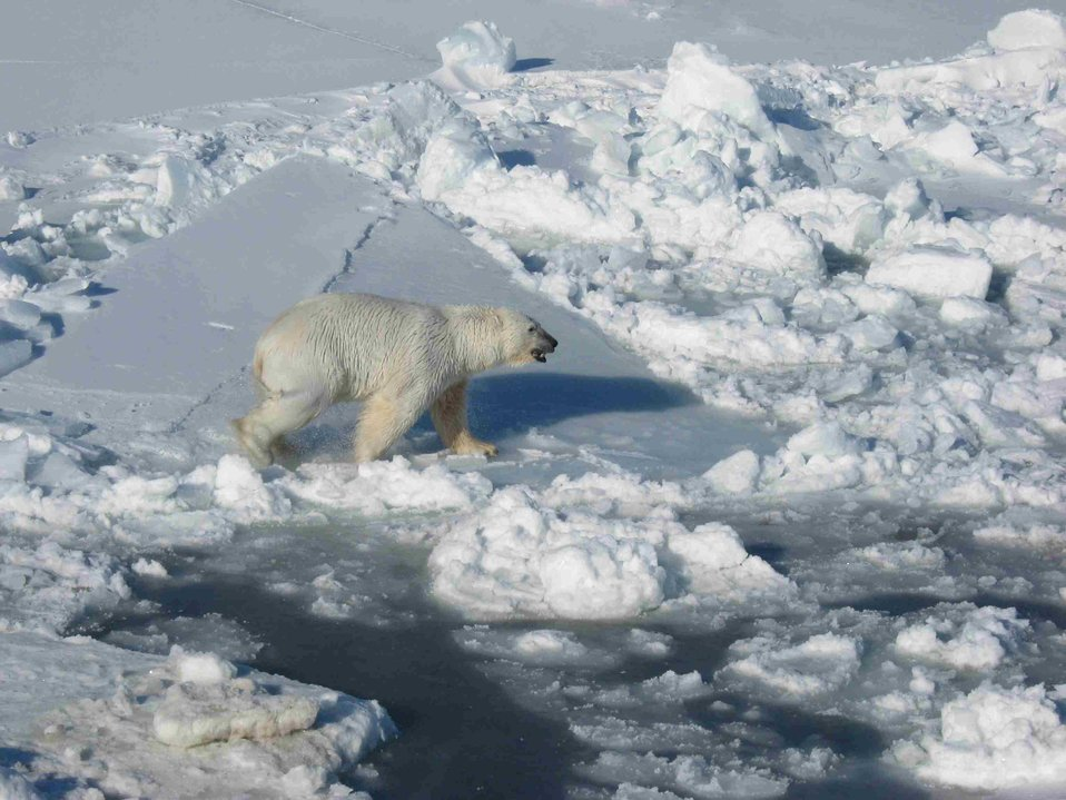 Male Polar Bear on Pack Ice