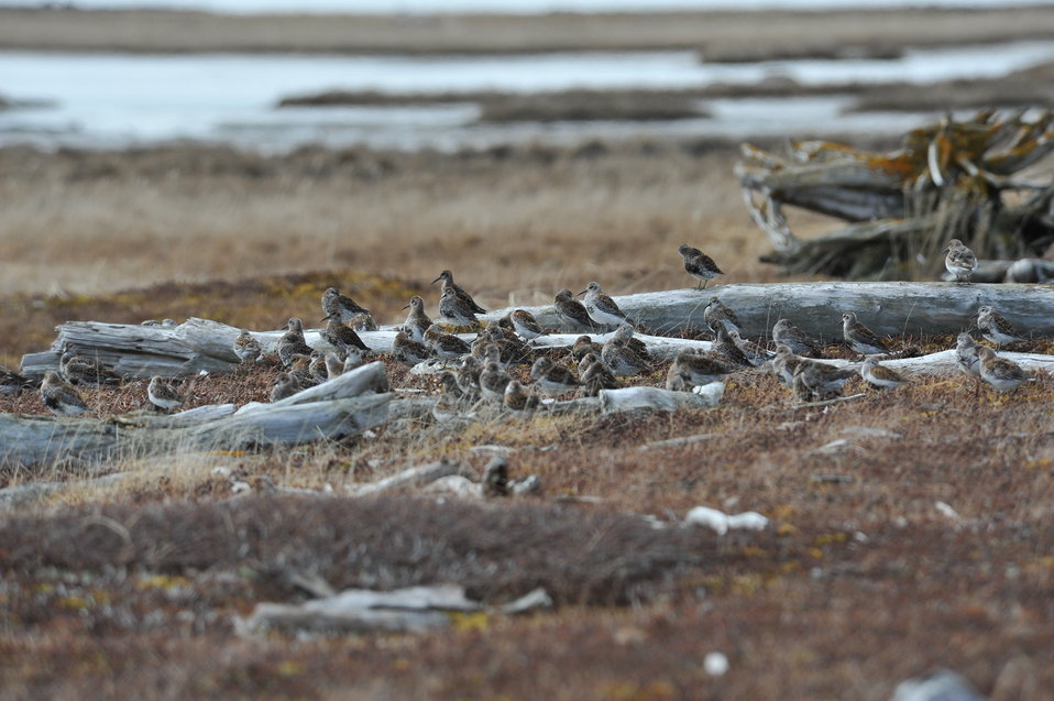 Group of shorebirds