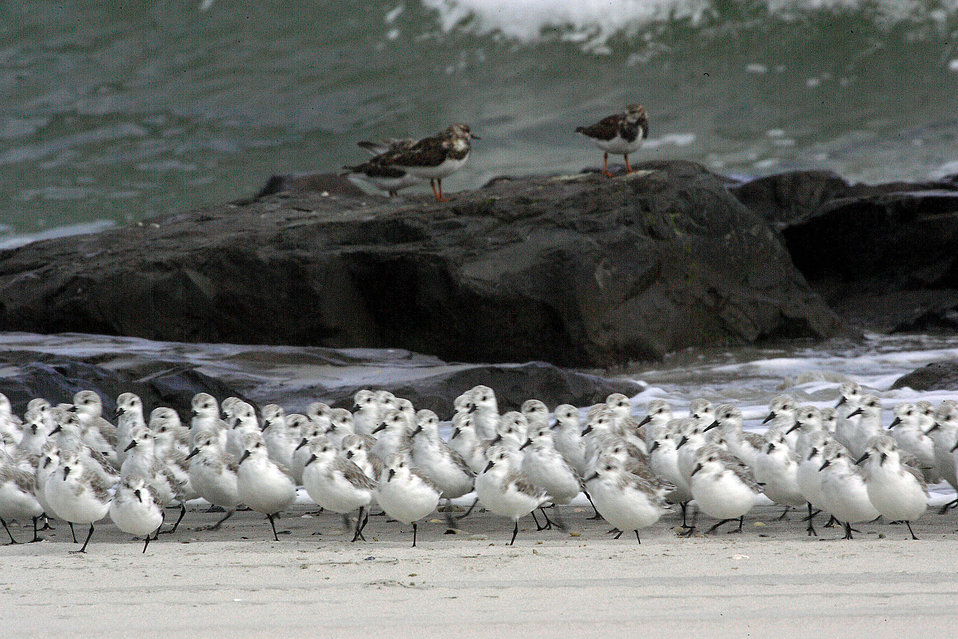 Sanderlings and Ruddy Turnstones