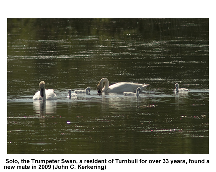 Trumpeter swan and cygnets - Turnbull NWR