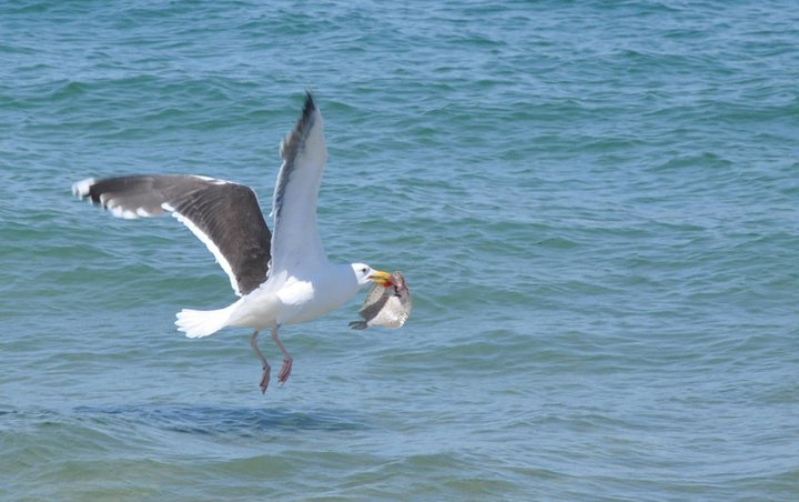 Great Black-Backed Gull with Flounder