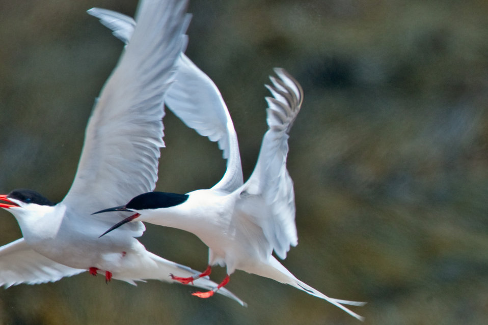 Roseate Tern Chasing a Common Tern