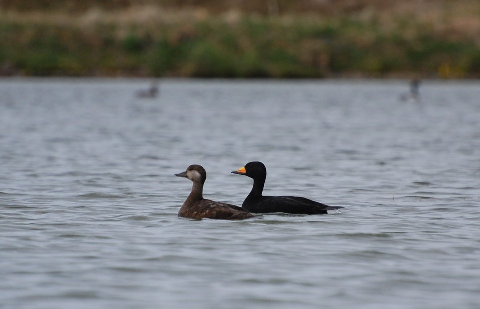 Black Scoter pair