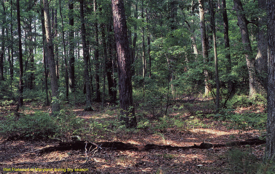 Wet Flatwood in Maryland during dry season
