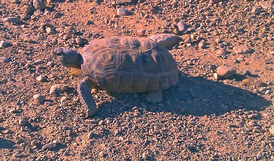 Desert Tortoise4