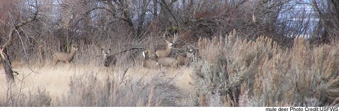 Mule deer - Minidoka NWR