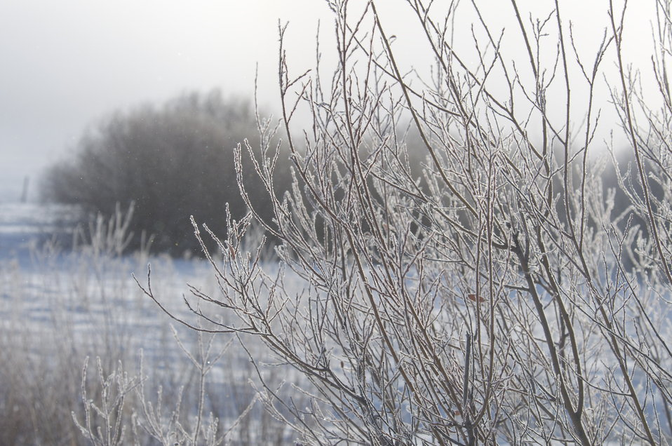 Frosty Willows