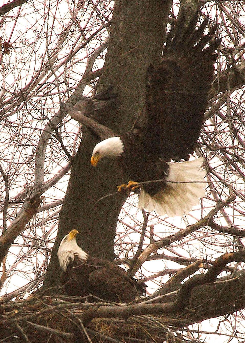 Bald eagle at its nest