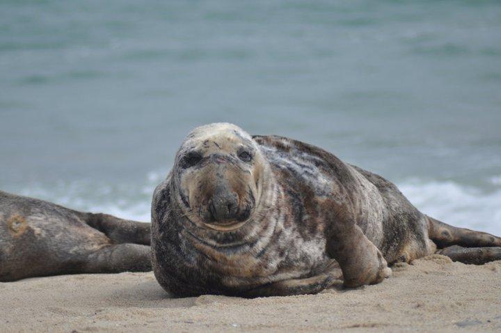 Male gray seal