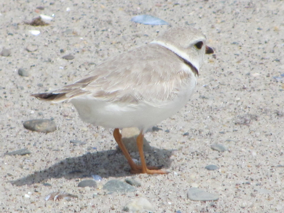 Piping plover, Monomoy National Wildlife Refuge, MA. By Ravin Tomasson,USFWS