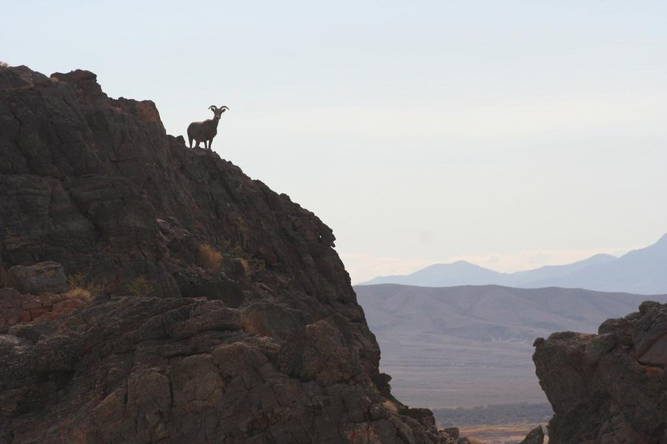 Bighorn sheep on Point of Rocks