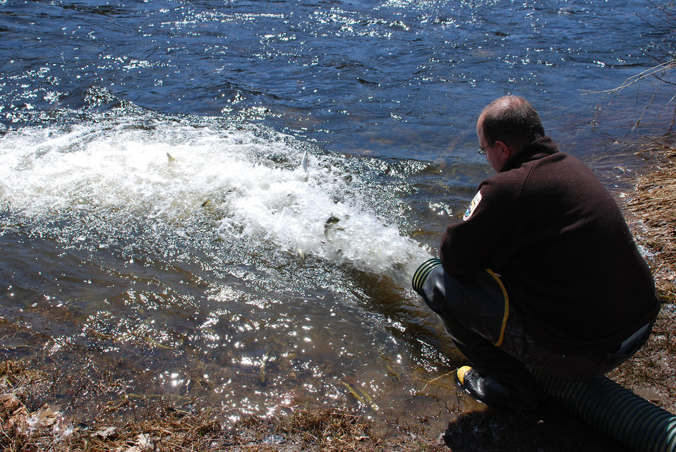 Releasing the Smolts