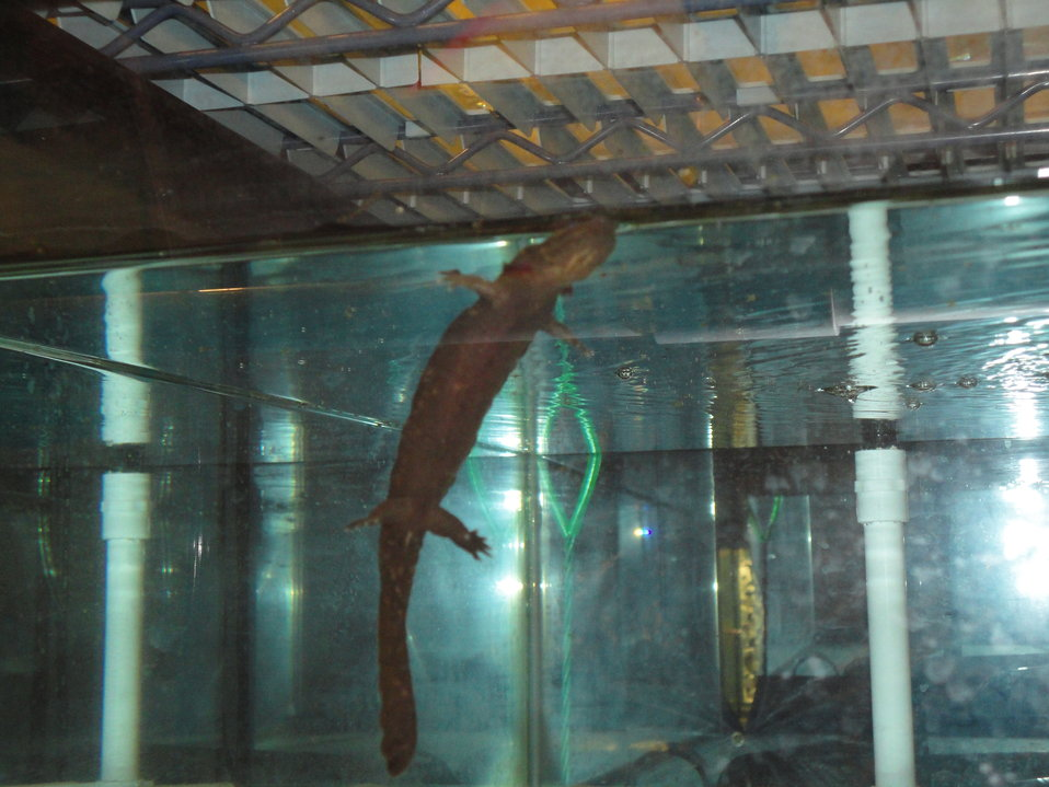 Hellbender at the Buffalo Zoo
