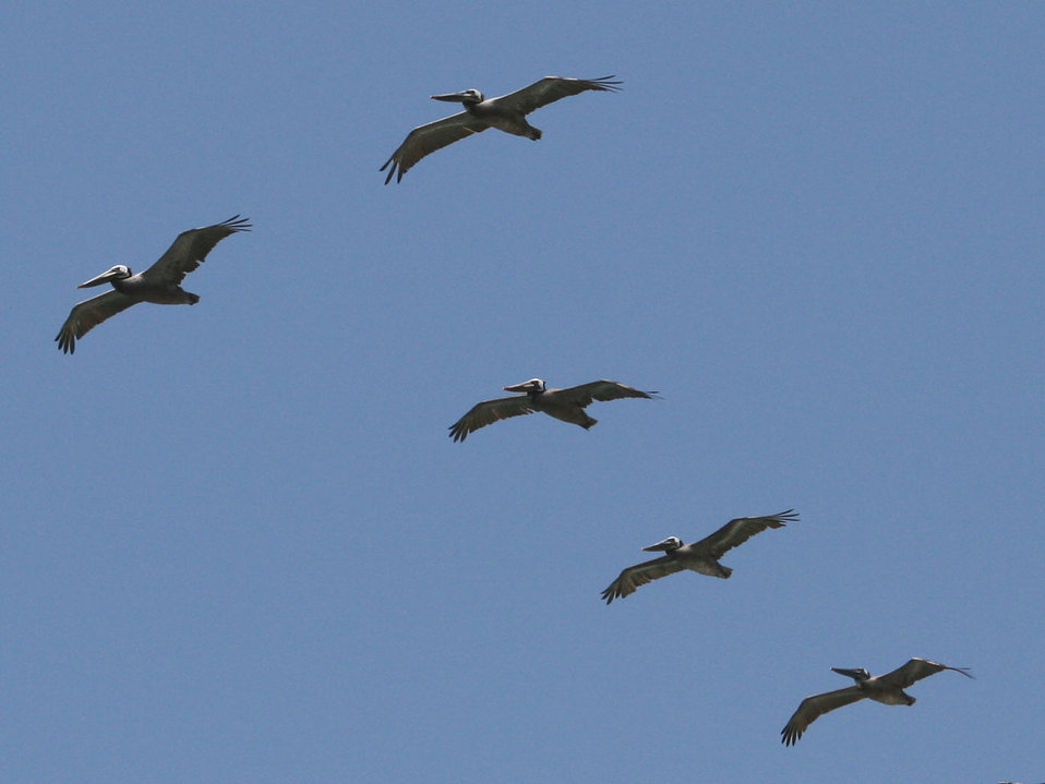 Pelicans flying overhead