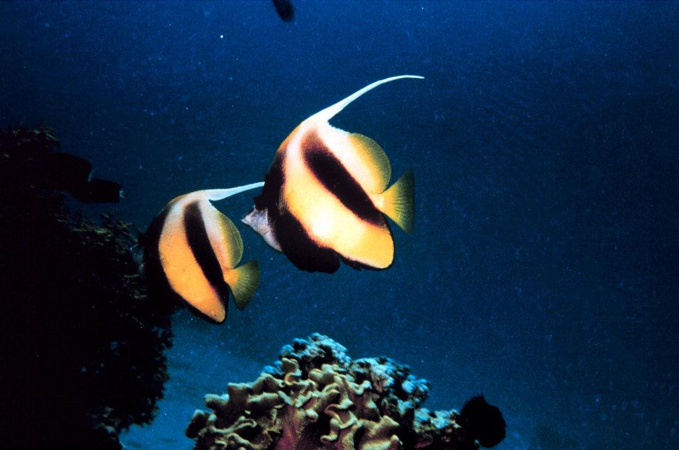 Bannerfish (Heniochus intermedius)