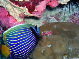 Anglefish and Hump Coral - Howland Island NWR