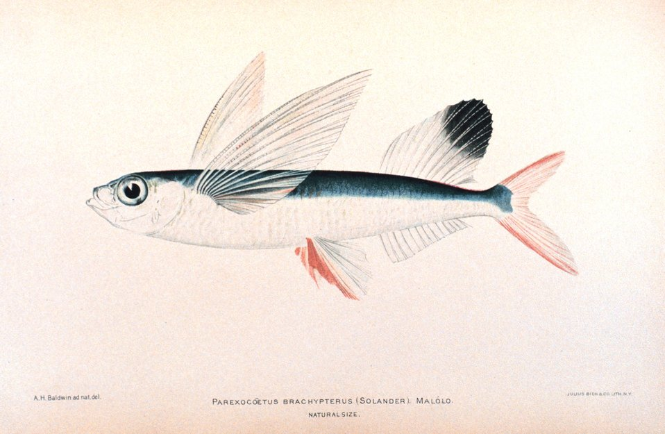 Parexocoetus brachypterus (Solander).  Malolo. In: 'The Shore Fishes of the Hawaiian Islands, with a General Account of the Fish Fauna', by David Starr Jordan and Barton Warren Evermann. Bulletin of the United States Fish Commission, Vol. XXIII, for 19