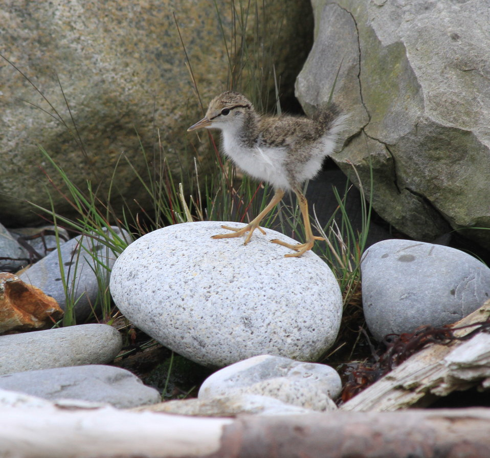 Spotted sandpiper chick