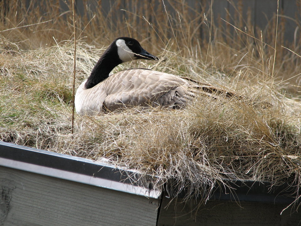 Goose Nesting on Grassy Roof