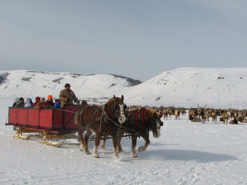 Horse-Drawn Sleigh Passes Elk Herd
