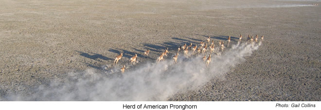 Herd of American Pronghorn - Hart MT National Antelope Refuge