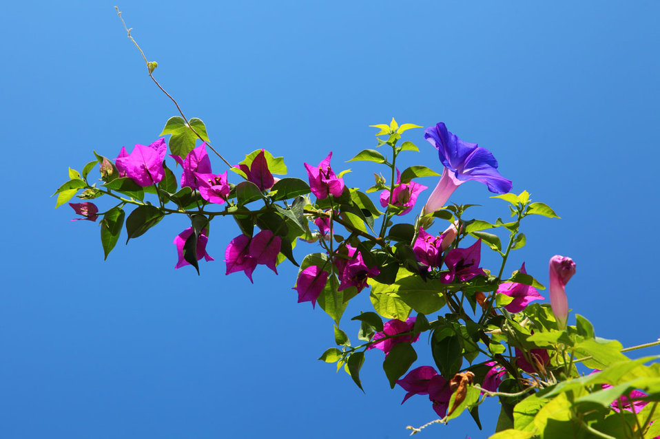 Bougainvillea with blue sky