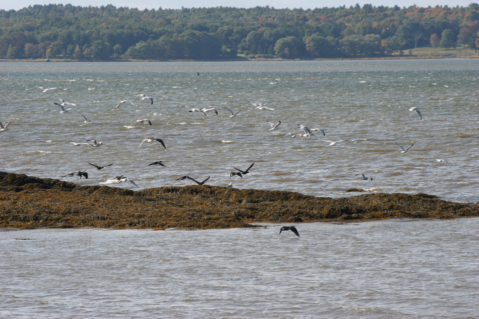 Shorebirds at Great Bay NWR