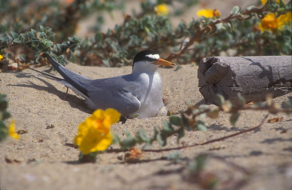 California least tern nesting