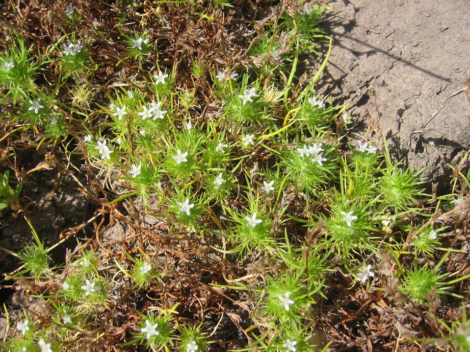 Spreading Navarretia Plant