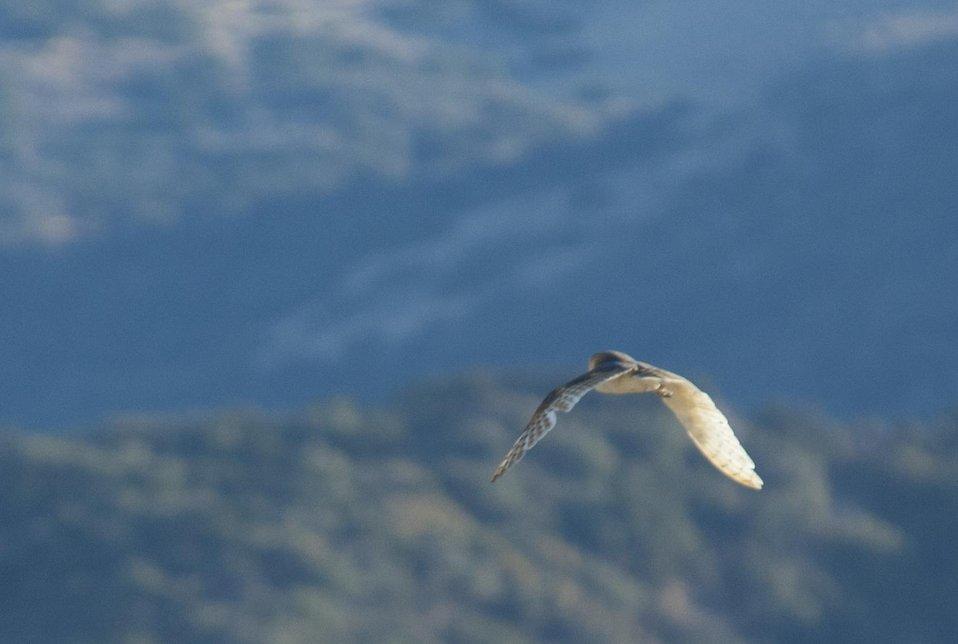 Barn Owl flying over Carrizo Plain