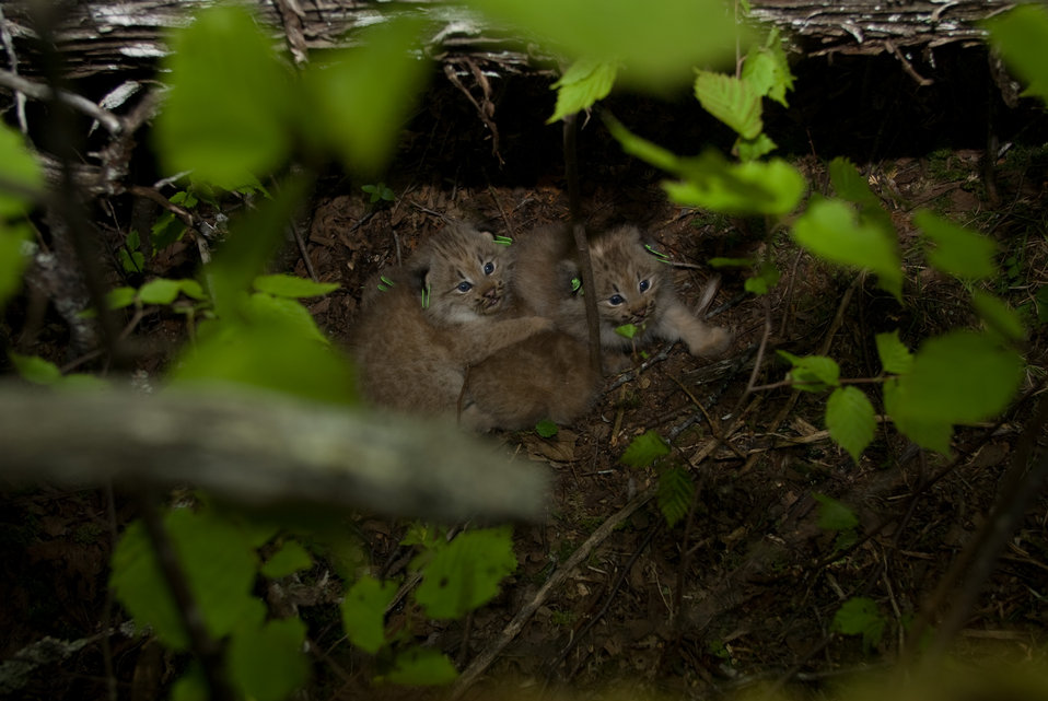 Canada Lynx kittens replaced into their den
