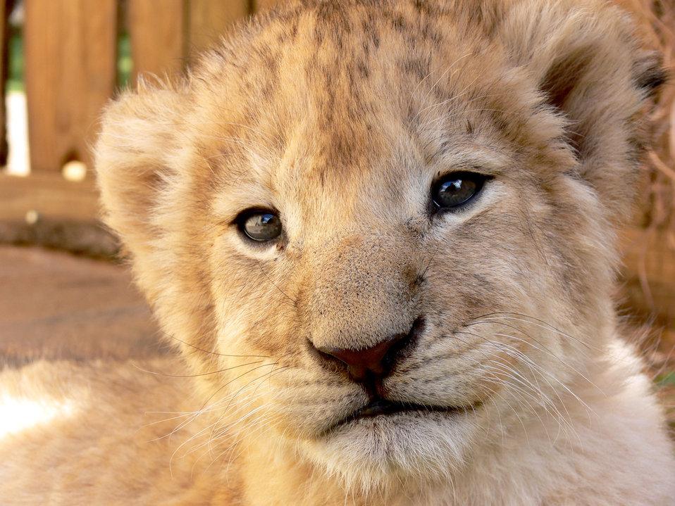 Lion cub gaze