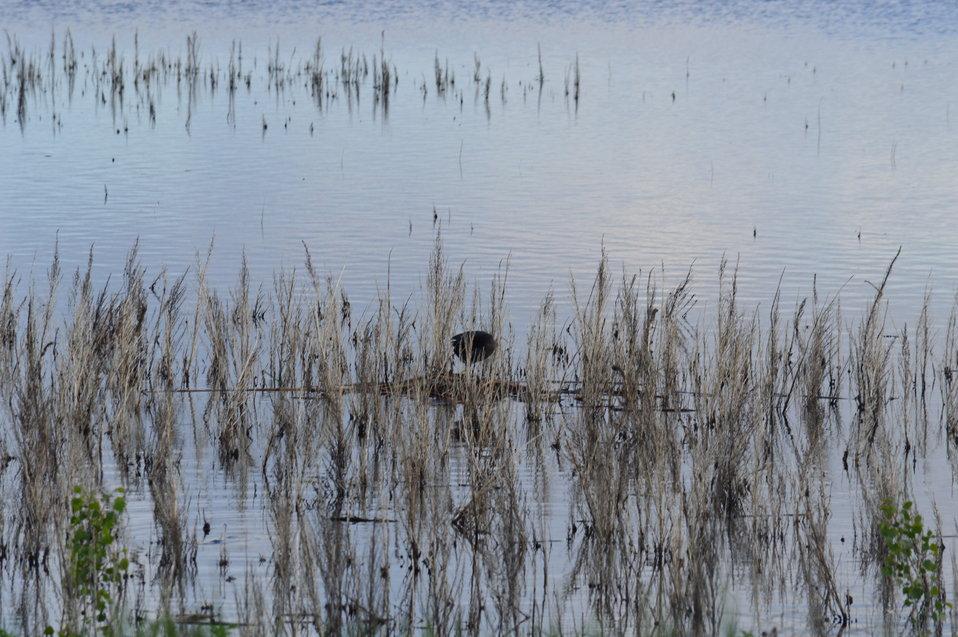 Nesting in Sand Lake