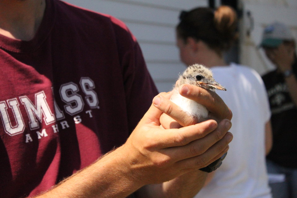 FWS Contractor UMass Student Holding Tern Chick